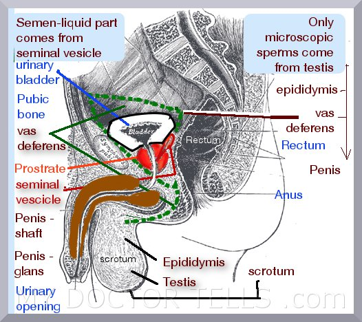 image showing labeled diagram of male sex organs penis ling in (hindi) testis (andakosh in hindi) sex problems solutions (in hindi)