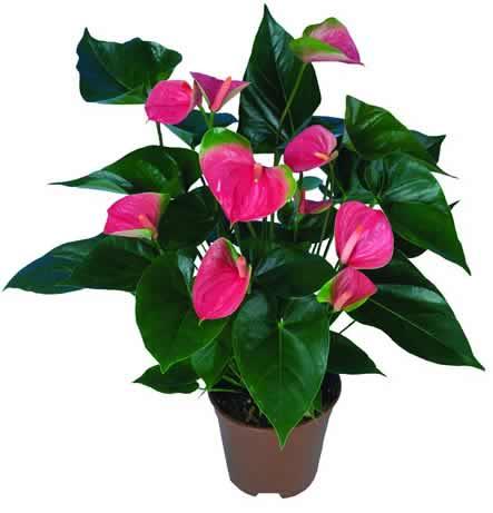 Cuidar plantar ant rios anthurium conhecido tamb m por for Plantas de interior anturio