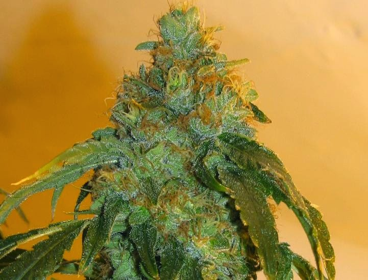 Orange Kush Cannabis Seeds ~ CANNABIS SEEDS USA ~ Buy Cannabis ...