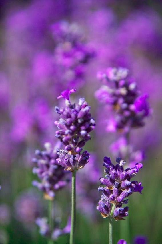 Benefits and uses of lavender 1