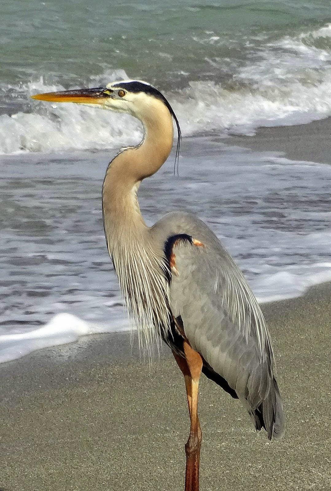 N'est-ce pas qu'il est beau ce grand oiseau ? Il attend que les pêcheurs lui offre le dîner!