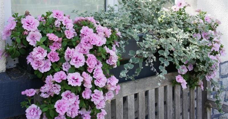 sous le ciel ardennais petunia double pink viva. Black Bedroom Furniture Sets. Home Design Ideas