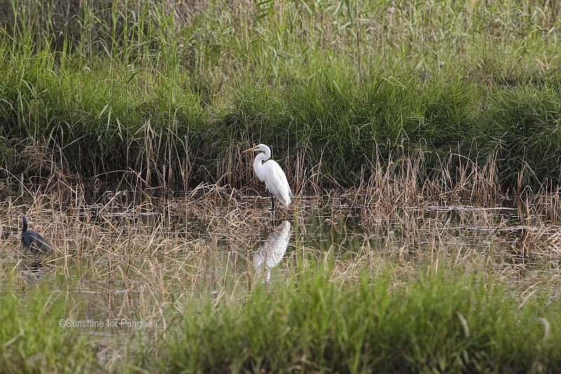 Great White Egret in the Abuko rice fields