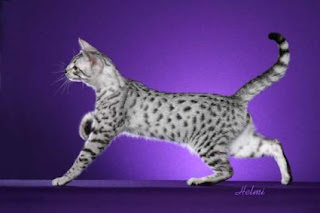 egyptian mau pet cat breeds animal cats picture wallpaper info