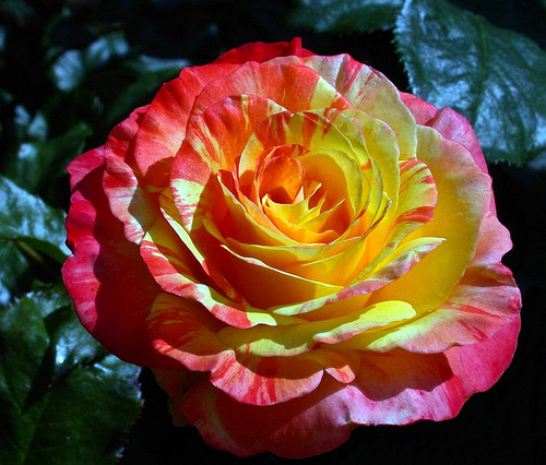 Multicolor Rose Flower