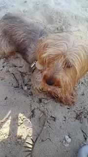 Χάθηκε σκυλάκι ράτσας γιορκσάϊρ, 8 ετών που ακούει στο όνομα Λόλα στην Περαία, Κρήτης 8.