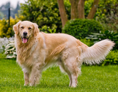 What Breeds Are Seeing Eye Dogs
