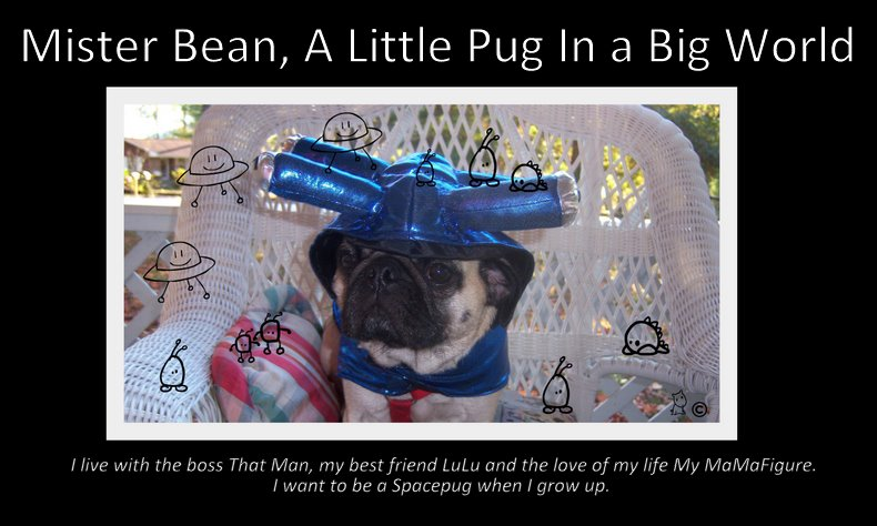 Mister Bean, A Little Pug in a Big World