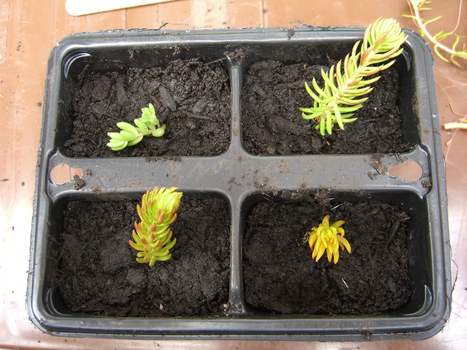 Выращивание очитка из семян