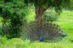 Pavo real en los jardines - Aves exóticas