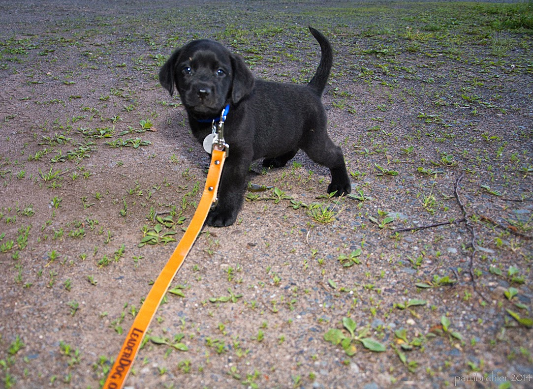 A small black lab puppy is standing on the ground looking at the camera, a long brown leash attached to his blue collar is leading off the frame. The puppy's tail is straight up.