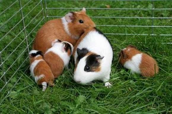 Apareamiento en los cuyes crianza de cuyes conejos y mascotas - Imagenes de animales apareandose ...