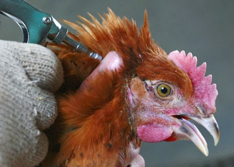 Artikel, Ayam Kampung, Kendala, Penyakit, Tips dan Trik