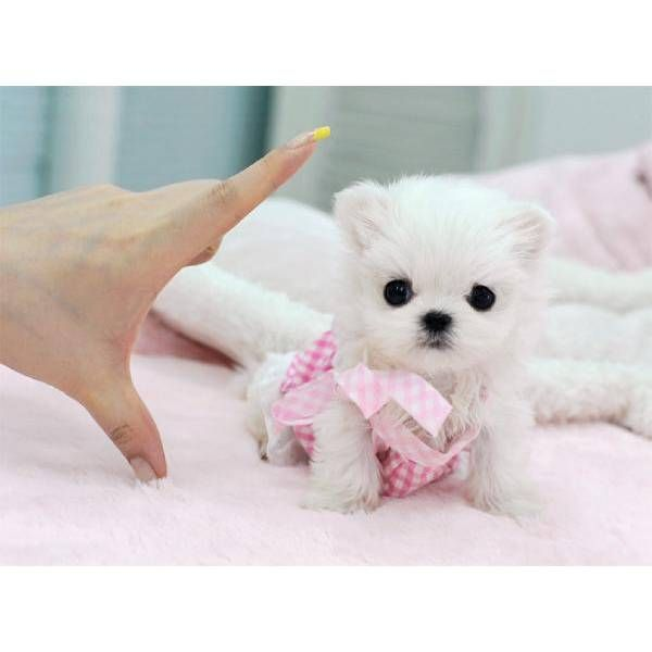 cute puppy dogs teacup maltese puppies
