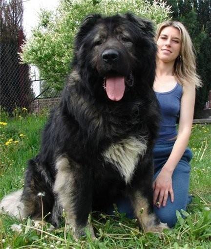 Tibetan+Mastiff+2.jpg
