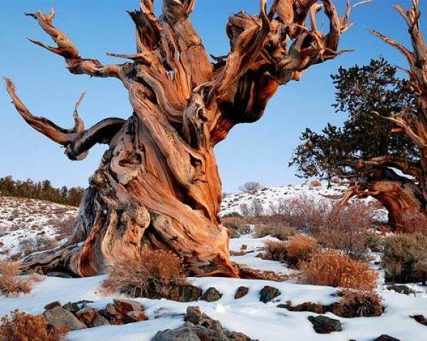 Pohon Methuselah tree