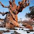 Pohon Paling Unik di Dunia
