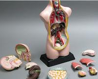 narządy człowieka