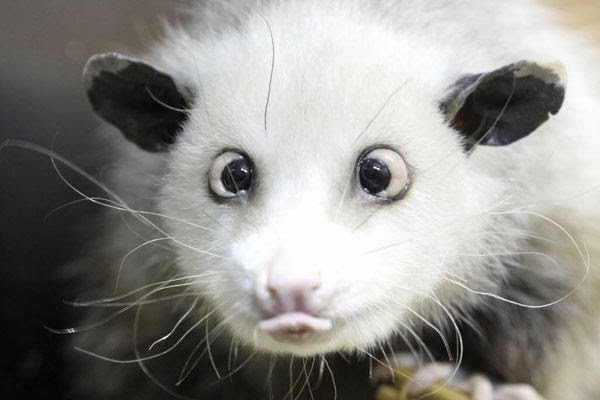 Heidi the Cross-Eyed Opossum Expresses Dismay - She thinks Every Day Is A Good Day To Celebrate The Birth Of Christ!
