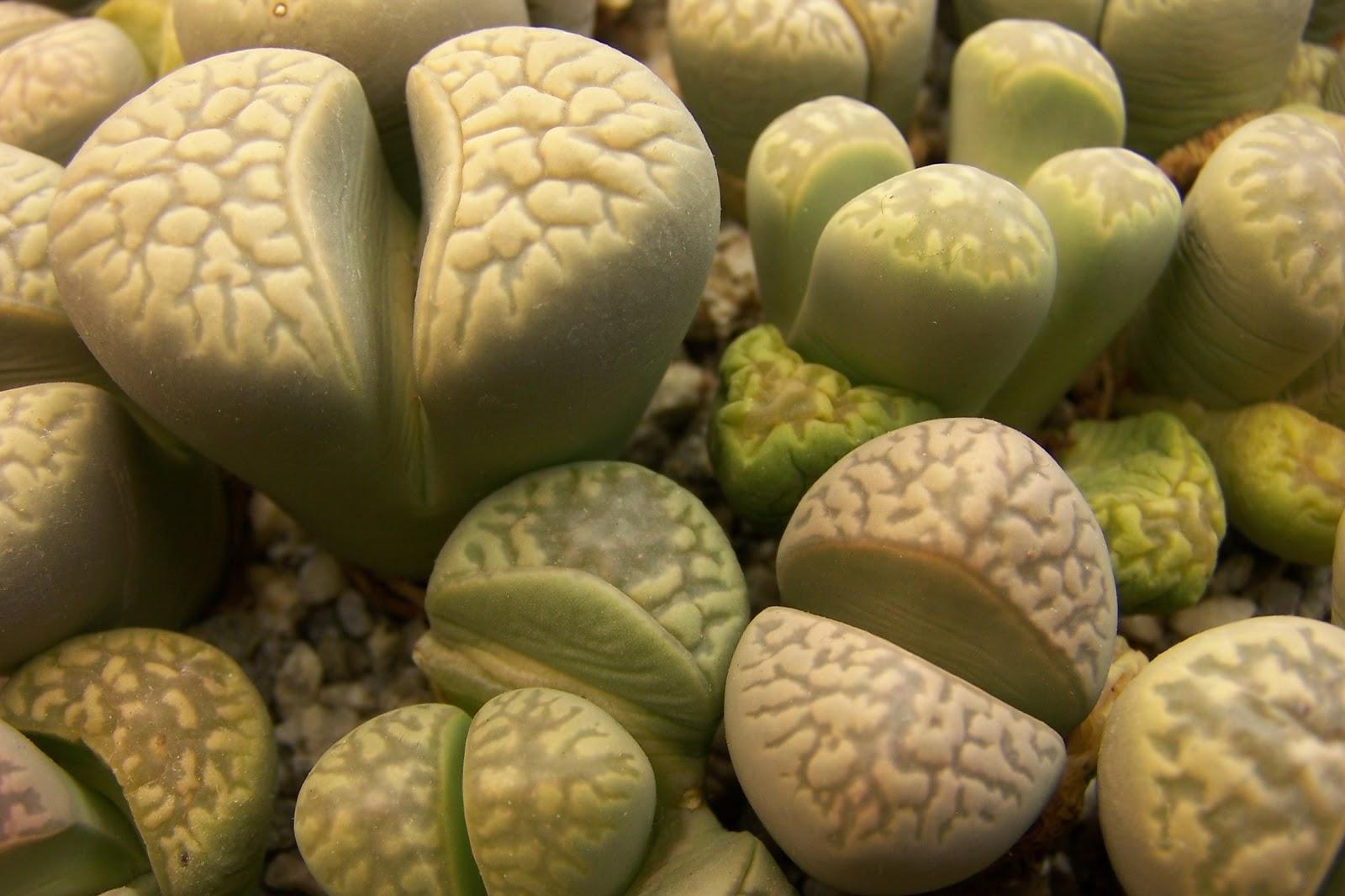Живые камни: литопсы в скромном горшочке 80