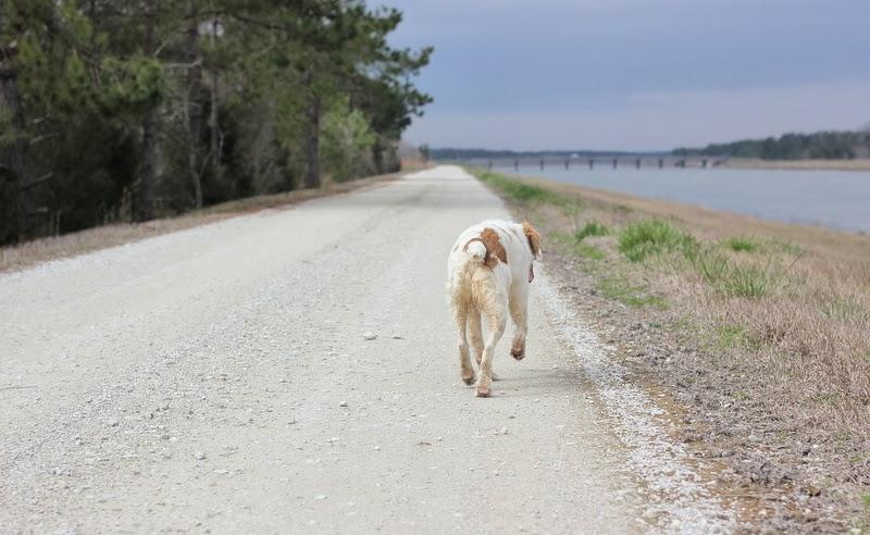 bird dog running down the road