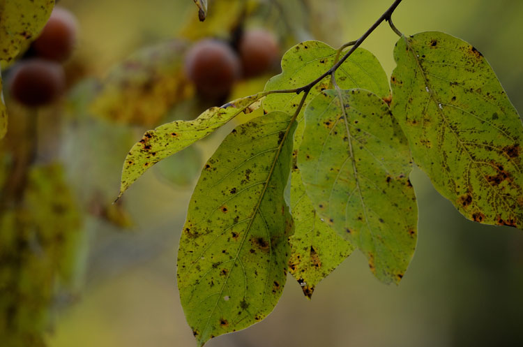 Common Persimmons among autumn leaves.