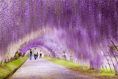 Wisteria Flower Tunnel Fuji