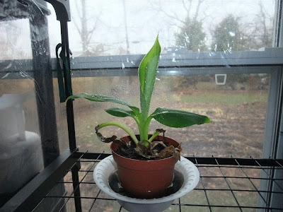 banana tree back to life, amazon, winter, grew indoors