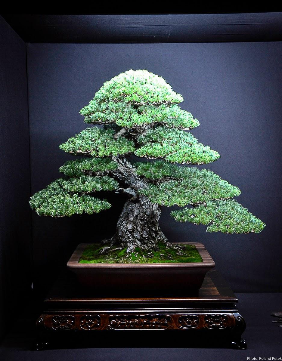 Bonsai Living Art Eda Uchi Kai Bonsai Ten 2013 Pinus