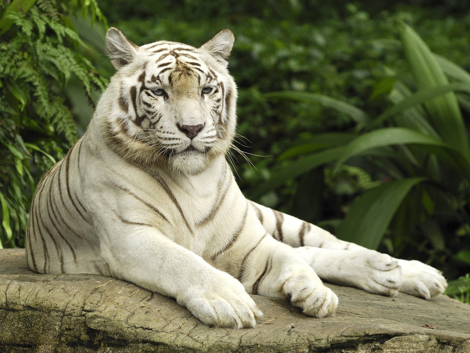 White Bengal Tigers Latest Hd Wallpaper 2013