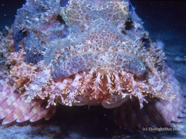 Bearded Scorpionfish (Scorpaenopsis, barbatus), Red Sea