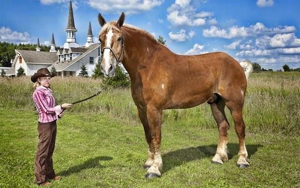 kuda terbesar dunia