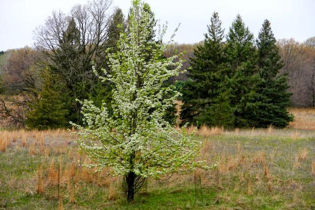 mid-April pear tree in bloom