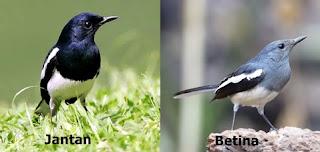 Burung Kacer |Tips Ciri-Ciri Dan Cara Membedakan Burung Kacer Jantan Dan Burung Kacer Betina