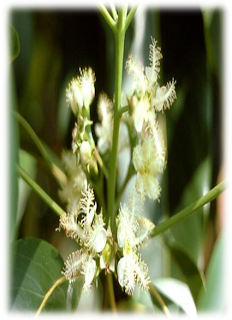 SIKAT KOTAK (Lophostemon confertus)
