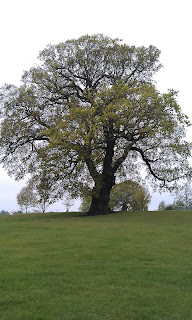 Quercus robur - Oak Tree Brockwell Park