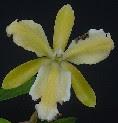 C. forbesii trilabelo