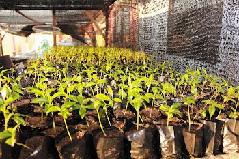 anak pokok gaharu subintegra , tinggi 4-7 inci
