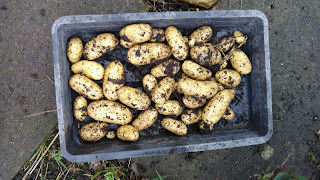 Lovely looking Charlotte potatoes