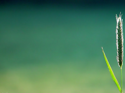 Wheat grain in green background