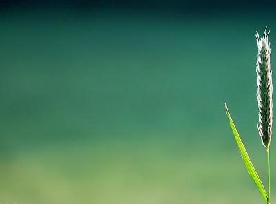 Wheat grain in green background