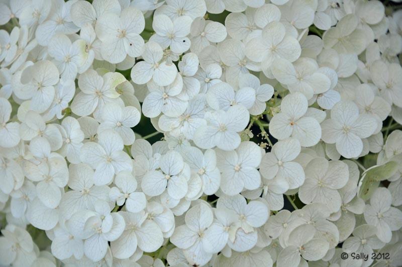 saturday august 18 - White Hydrangea