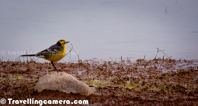Hope you have enjoying this Series on various birds of Pong Dam. So far we have shared three different Photo Journeys with various birds from Pong Wetland of India. All information shared about the birds is provided by experienced Birders and then later we did some research through web and Birding books. Here comes the fourth Photo Journey but we are still working on finding details about few of the birds in this Photo Journey...A flying Skylark which was sitting on this wooden piece for a long time and we tried to go closer as we had not enough zoom to capture her in our cameras. This was wonderful bird and while flying it looked more beautiful. Above Photograph doesn't do the justice with beauty of this photograph of a Skylark in Pong Dam, Himachal Pradesh, India.The Skylark is a small passerine bird species. This lark breeds across most of Europe and Asia and in the mountains of north Africa. It is mainly resident in the west of its range, but eastern populations are more migratory, moving further south in winter. Even in the milder west of its range, many birds move to lowlands and the coast in winter. Asian birds appear as vagrants in Alaska; this bird has also been introduced in Hawaii, western North America, eastern Australia and New Zealand. More details about skylarks can be checked at - http://en.wikipedia.org/wiki/Skylark The pipits are a cosmopolitan genus, Anthus, of small passerine birds with medium to long tails. Along with the wagtails and longclaws, the pipits make up the family Motacillidae. The genus is widespread, occurring across most of the world, except the driest deserts, rainforests and the mainland of Antarctica. Pipits are slender, often drab, ground-feeding insectivores of open country. Like their relatives in the family, the pipits are monogamous and territorial. Pipits are ground nesters, laying up to six speckled eggs. More details about Pipits can be checked at http://en.wikipedia.org/wiki/PipitDuring two days of Pong Dam visit we saw