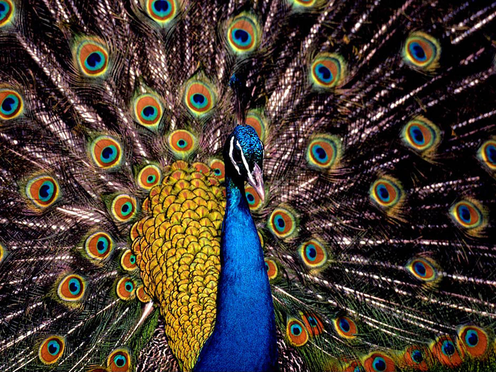 Peacock wallpapers - photo#19