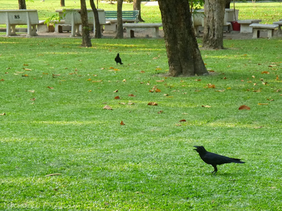 Crows in Lumphini Park
