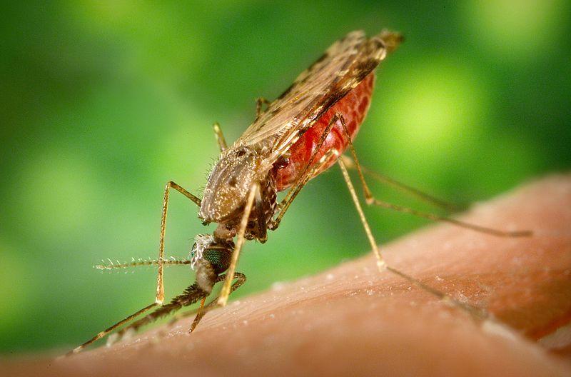 gambar nyamuk malaria - gambar nyamuk - gambar nyamuk malaria