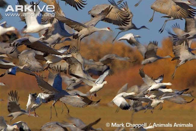 interactions between flocks snow goose