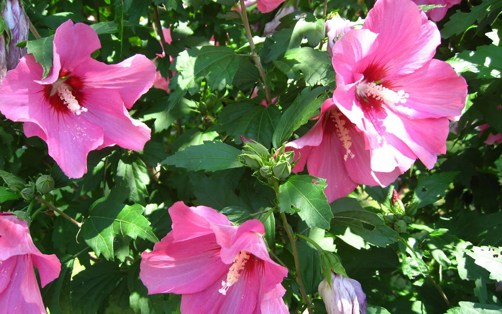 http://3.bp.blogspot.com/-NQ2wnmi6W10/TdoDlwLmKpI/AAAAAAAADr8/9WVe2ZohmLw/s1600/flower-wallpaper-full-hd-hibiscus.jpg