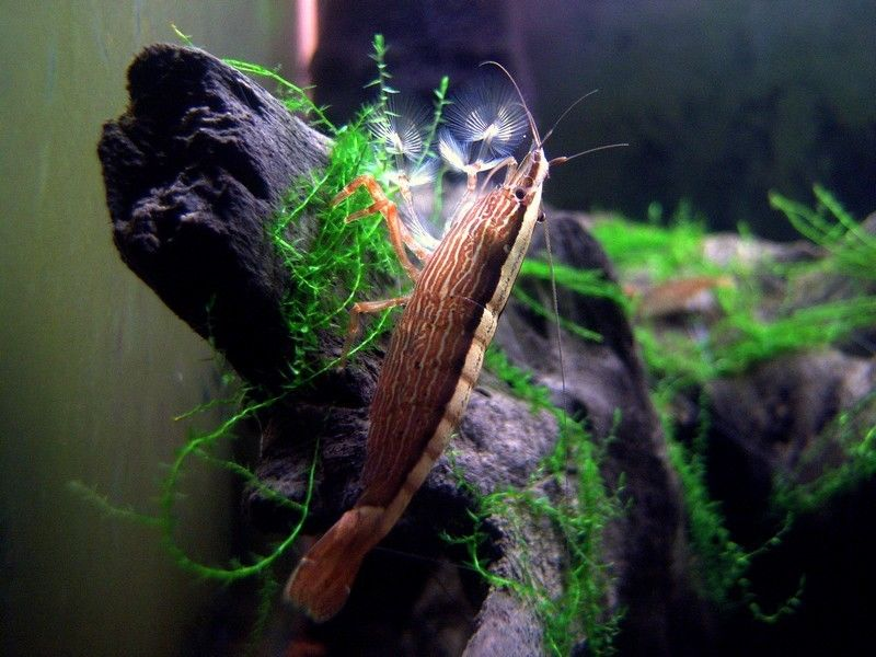 Bamboo Shrimp Udang Bambu Aquascape Batang