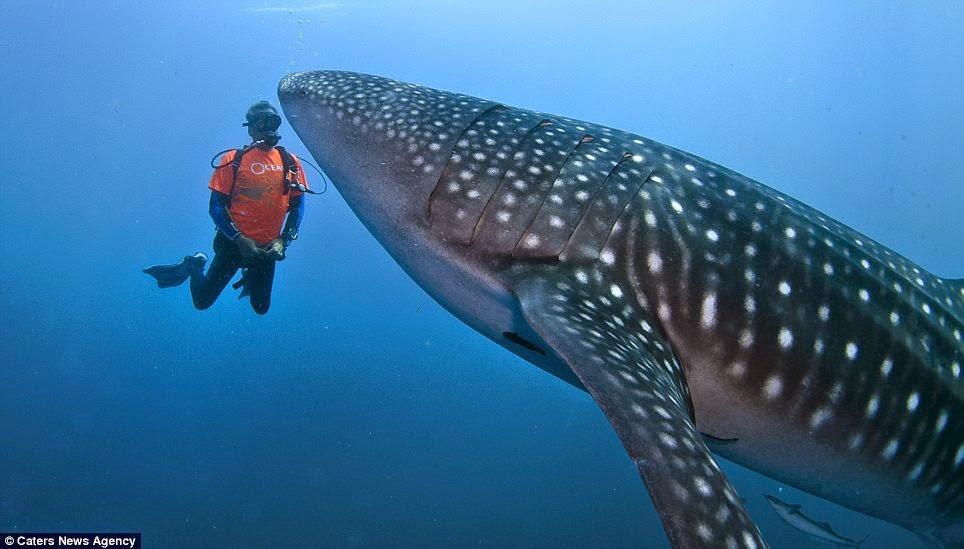 Hewan Terbesar di Dunia Whale Shark